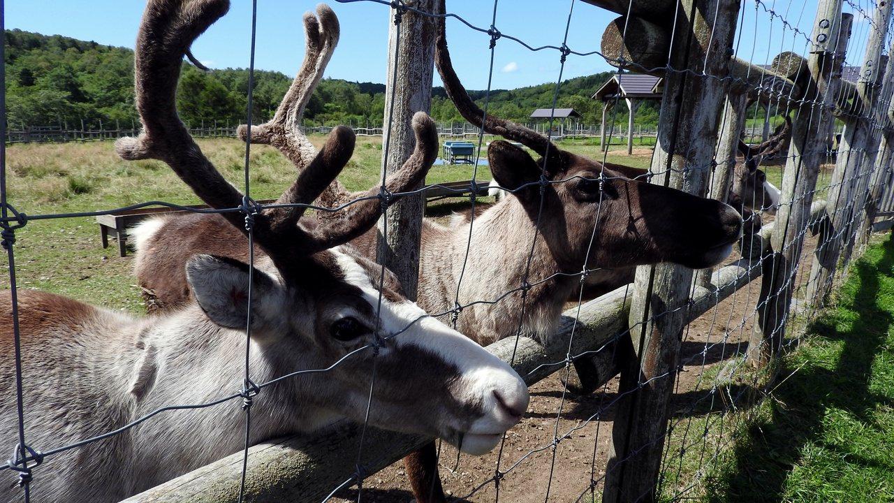 鹿群們為了吃飼料一擁而上。記者魏妤庭/攝影