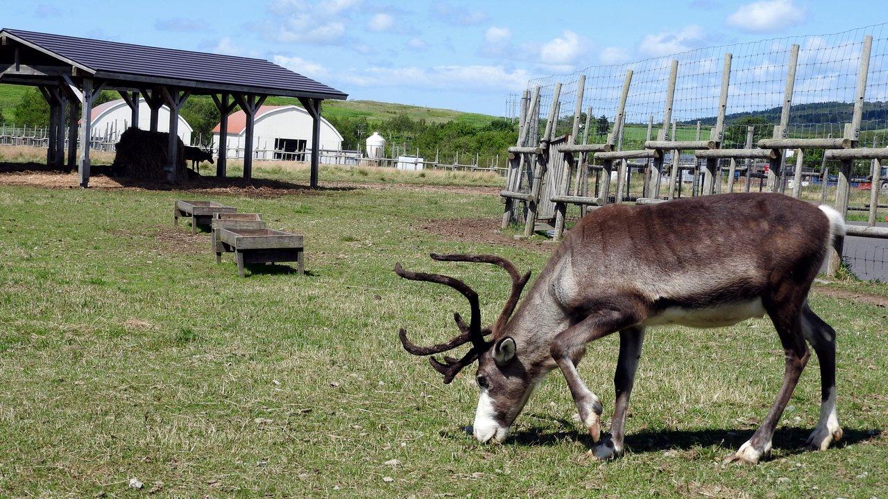 牧場內的馴鹿大約有50多頭。記者魏妤庭/攝影