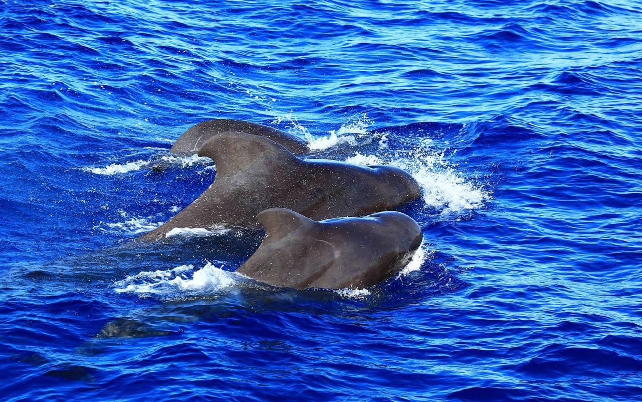 花蓮海域驚喜之旅,上百頭領航鯨圍繞賞鯨船邊游行。圖/多羅滿賞鯨公司提供