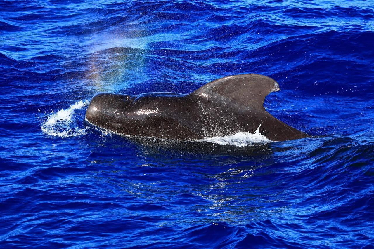 領航鯨在賞鯨船邊圍繞、噴水,吸引遊客目光。圖/多羅滿賞鯨公司提供