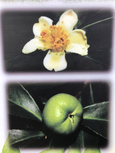 辜嚴倬雲植物保種中心海報介紹武威山烏皮茶的樹葉果實跟花朵。記者蔣繼平/攝影