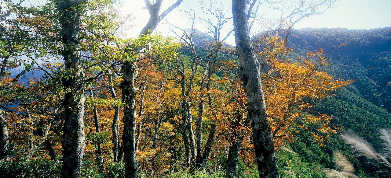 台灣山毛櫸步道每年秋天、10月中旬左右會換上金黃新妝。圖/羅東林管處提供