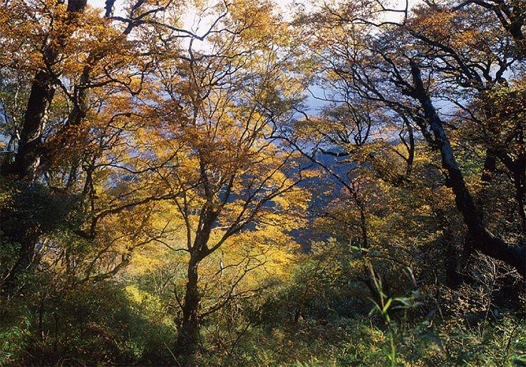 台灣山毛櫸是台灣珍稀植物,每年秋天、10月中旬左右會換上金黃新妝。圖/羅東林管處...