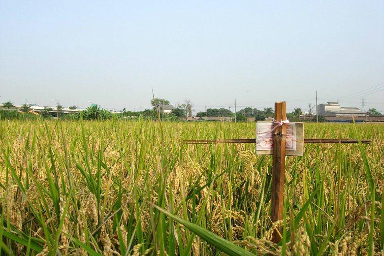台灣中南部在八月中秋前後,農田裡會長出一種特別的「作物」,叫做「土地公枴」。 圖/作者自攝