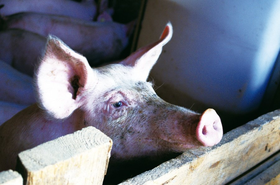 農委會推動「養豬專區」提供現代化設施,號召養豬小農們一同發展規模經濟。(phot...