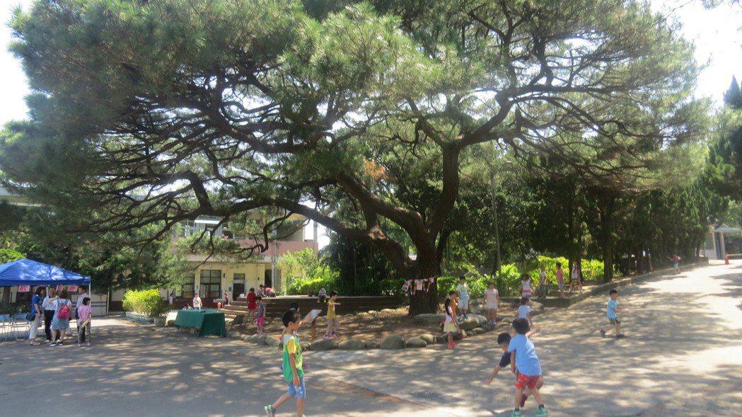 苗栗縣頭份市斗煥國小百年琉球松群是重要老樹文化地景,樹下是學童的遊樂場。記者范榮...