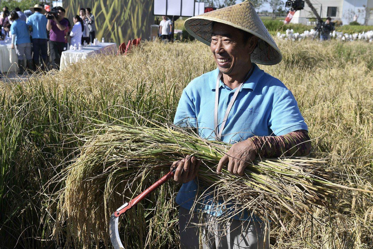 中國「海水稻」試種成功,數億畝鹽鹼地有望成米糧倉。圖為28日青島海水稻研發中心,...