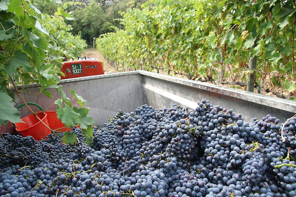 秋天是葡萄收成的季節,呈現墨紫色的釀酒葡萄非常甜美,也是製作奇昂地美酒的最佳材料...