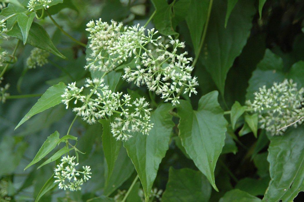 外來種小花蔓澤蘭開花期在每年10月後,因此防除最佳時機在9至10月。圖/南投林管...