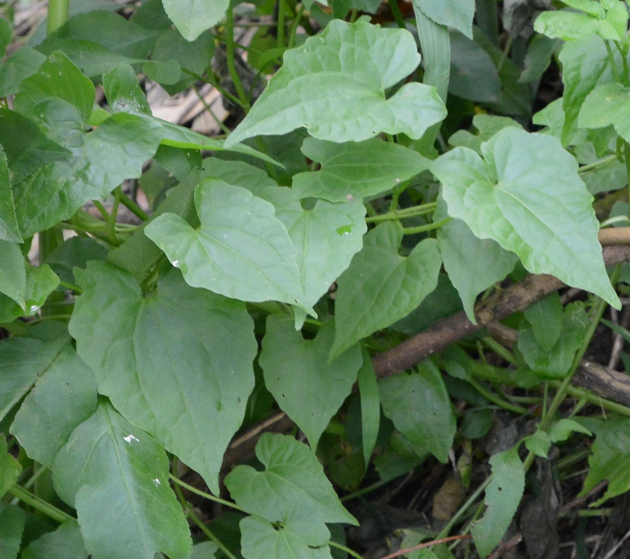 外來種小花蔓澤蘭危害國內生態環境和生物多樣性,其葉為對生、心形或三角形。圖/南投...