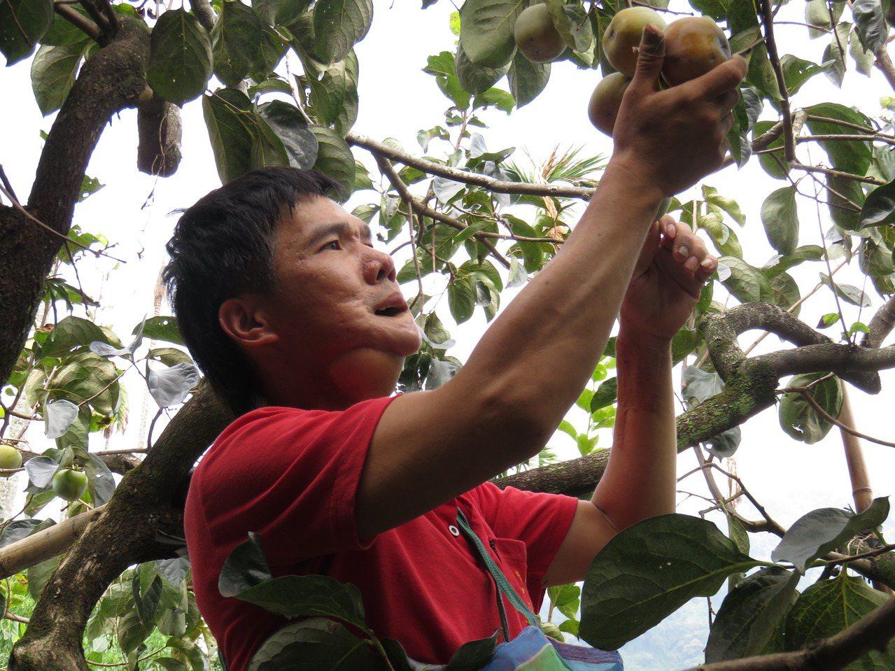 雖然罹患口腔癌,但為了照顧年邁的父母及就讀高中的兒子,鄧大哥依舊賣力地在柿子園內...