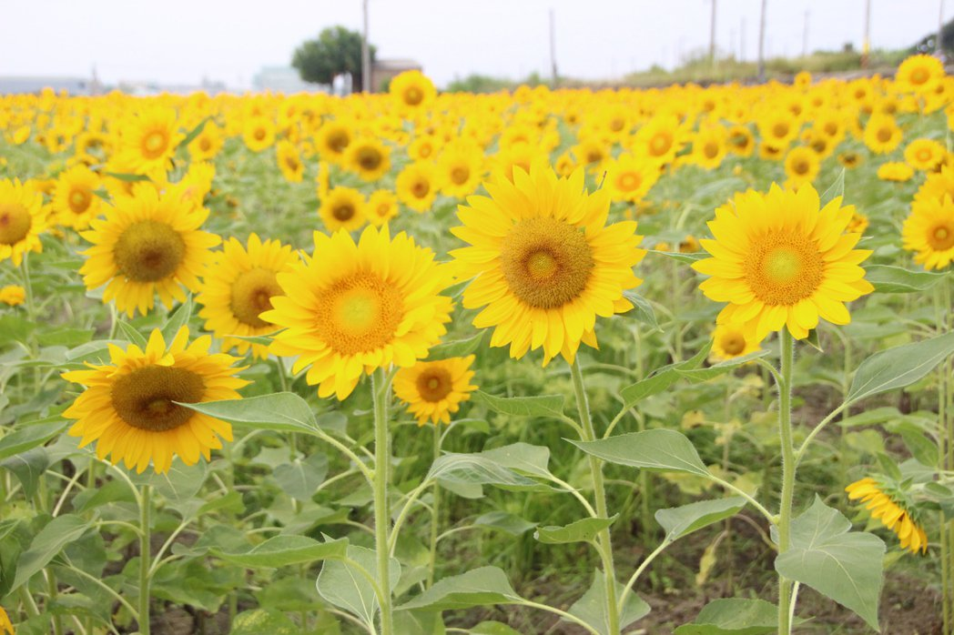 北海道太陽神向日葵花朵大,最近已呈現黃澄澄一片。記者林敬家/攝影