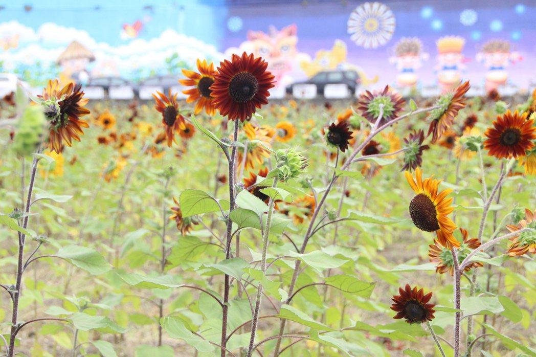 荷蘭夏紅向日葵顏色特別,台灣較少見。記者林敬家/攝影