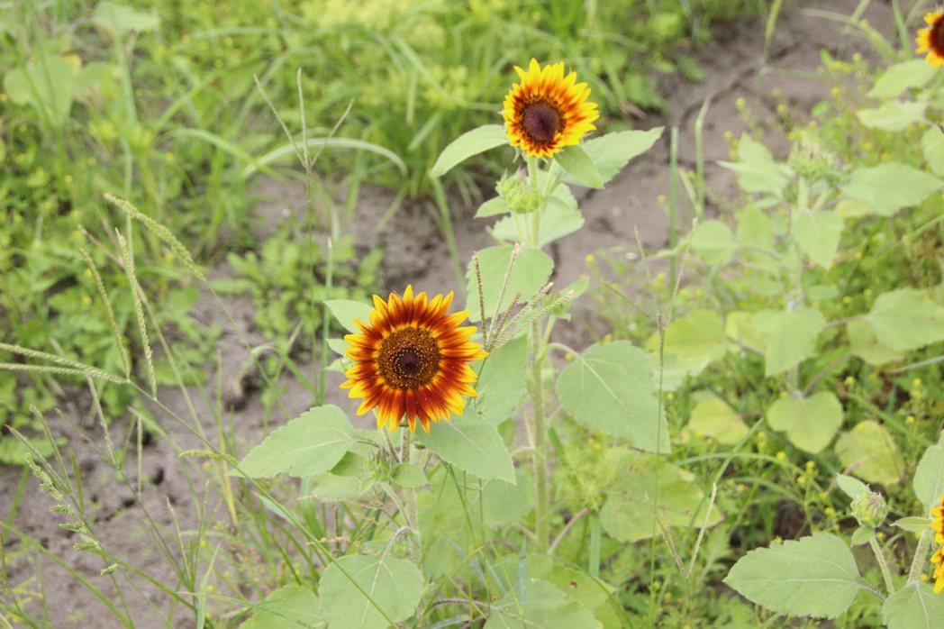 泰國火星向日葵植株矮小,預計將陸續開花。記者林敬家/攝影
