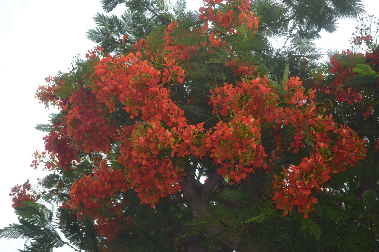 鳳凰樹開花季節從5月到8月,已要10月了,台南市許多鳳凰木仍紅花滿枝頭。記者鄭惠...