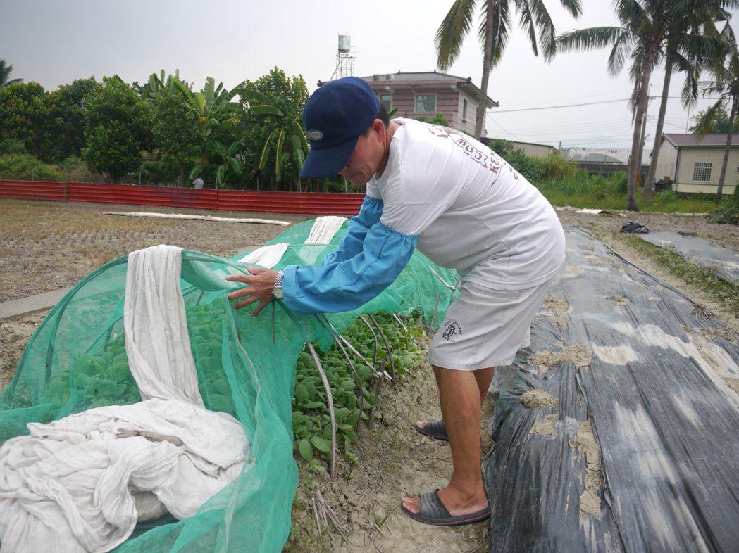美濃少數菸農爭取繼續種菸葉, 依據時序培育幼苗。記者徐白櫻/攝影