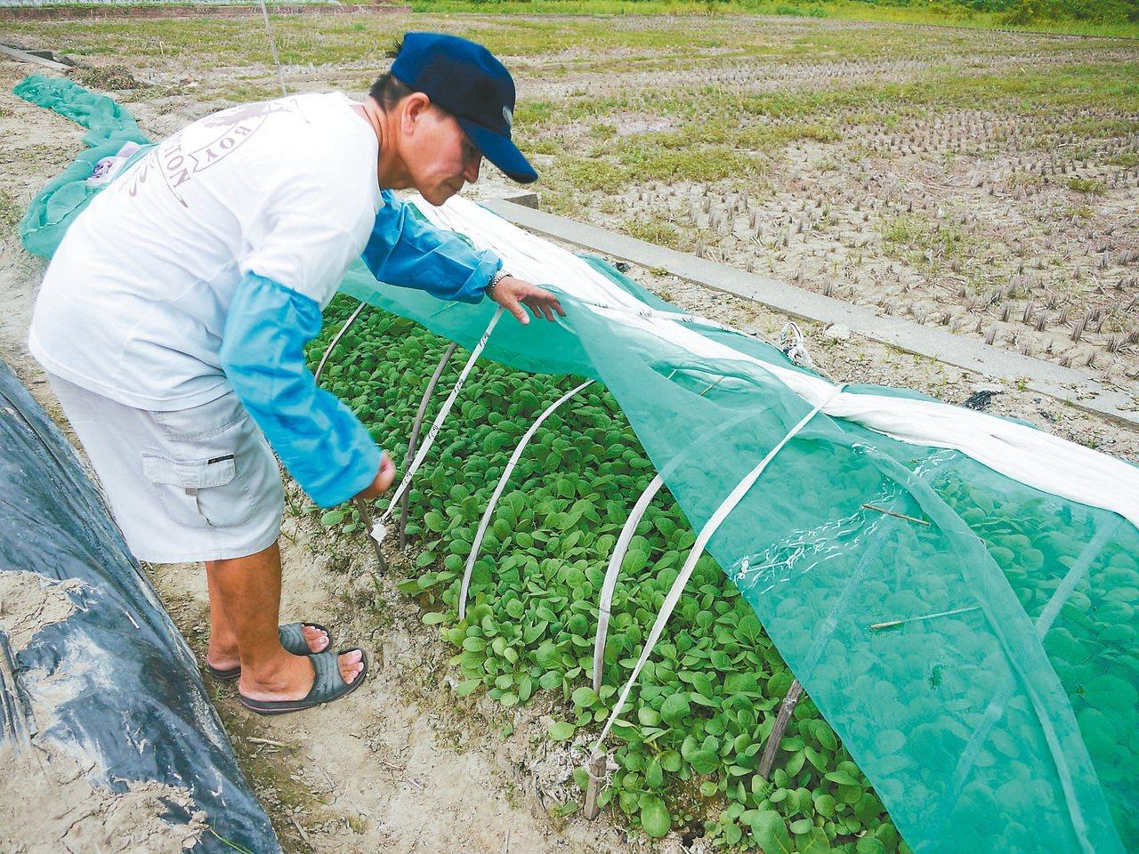 時序入秋,仍有少數農民培育菸苗,盼菸酒公司續向他們收購菸草。 記者徐白櫻/攝影