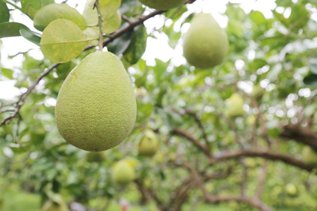 花蓮慈濟醫院藥學部主任劉采艷提醒,柚子會抑制體內肝臟酵素,降低降血脂藥於體內的正...