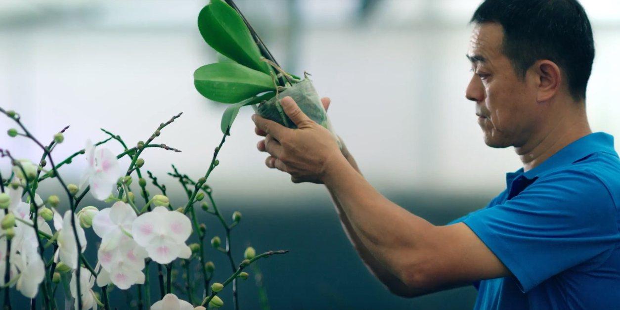 蝴蝶蘭小苗可出口到北美、歐洲等地。圖/台中市新聞局提供