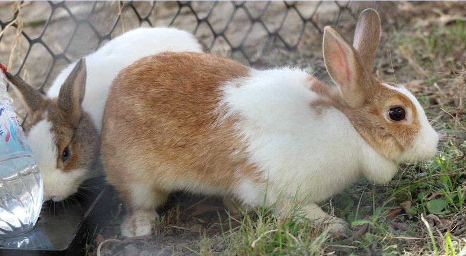 彰化縣偏鄉的興華國小校園半個月前一夜間冒出2隻被棄養的流浪兔,受到學童喜愛。圖/...