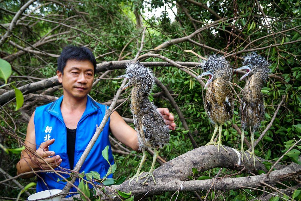 動物救援百百種,新北市曾接獲黑冠麻鷺的鶵鳥救援。 圖/新北市動保處提供