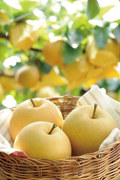 京丹後梨380元/2顆/在風光明媚的丹後半島栽培,丹後梨產季約從九月上旬至十月下...