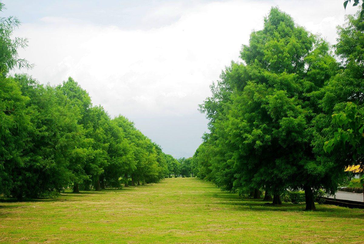 落羽松秘境有二排高大的落羽松,像一條落羽松大道。
