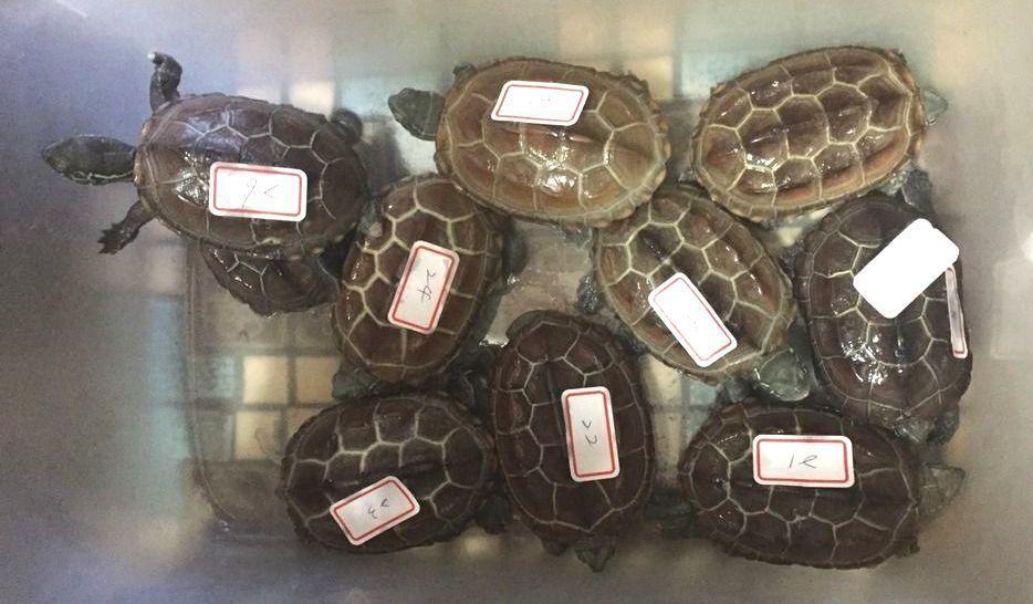 許姓男子罹患憂鬱症,養了一大堆保育類烏龜當寵物。 記者林孟潔/翻攝
