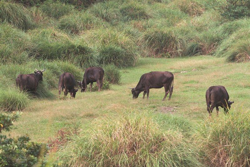 偌大的草原如果沒有這群野化水牛吃草,擎天崗草原的美景將成絕響。 攝影/柯承惠