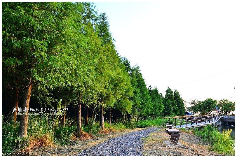菁埔埤入口的右側有一片落羽松林,冬天變色後呈現另一種風情。