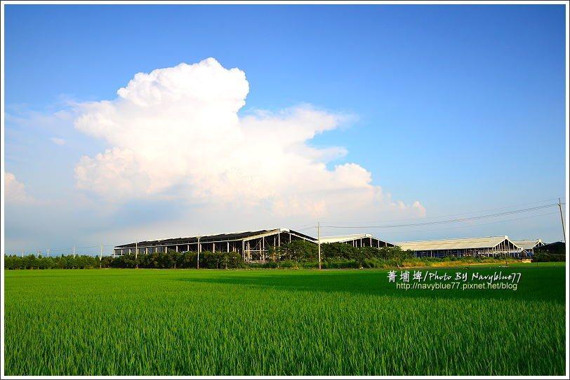↑菁埔埤就在林鳳營牧場旁,隔著大片稻田,隱約可以看到乳牛的身影。