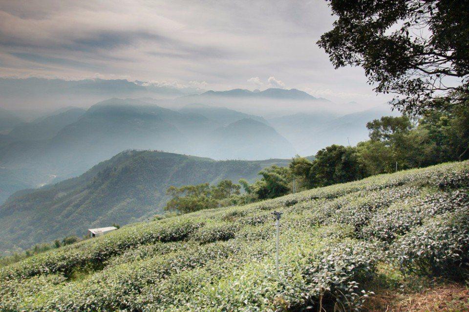 樂山步道茶園美景。(攝影/陳德偉)
