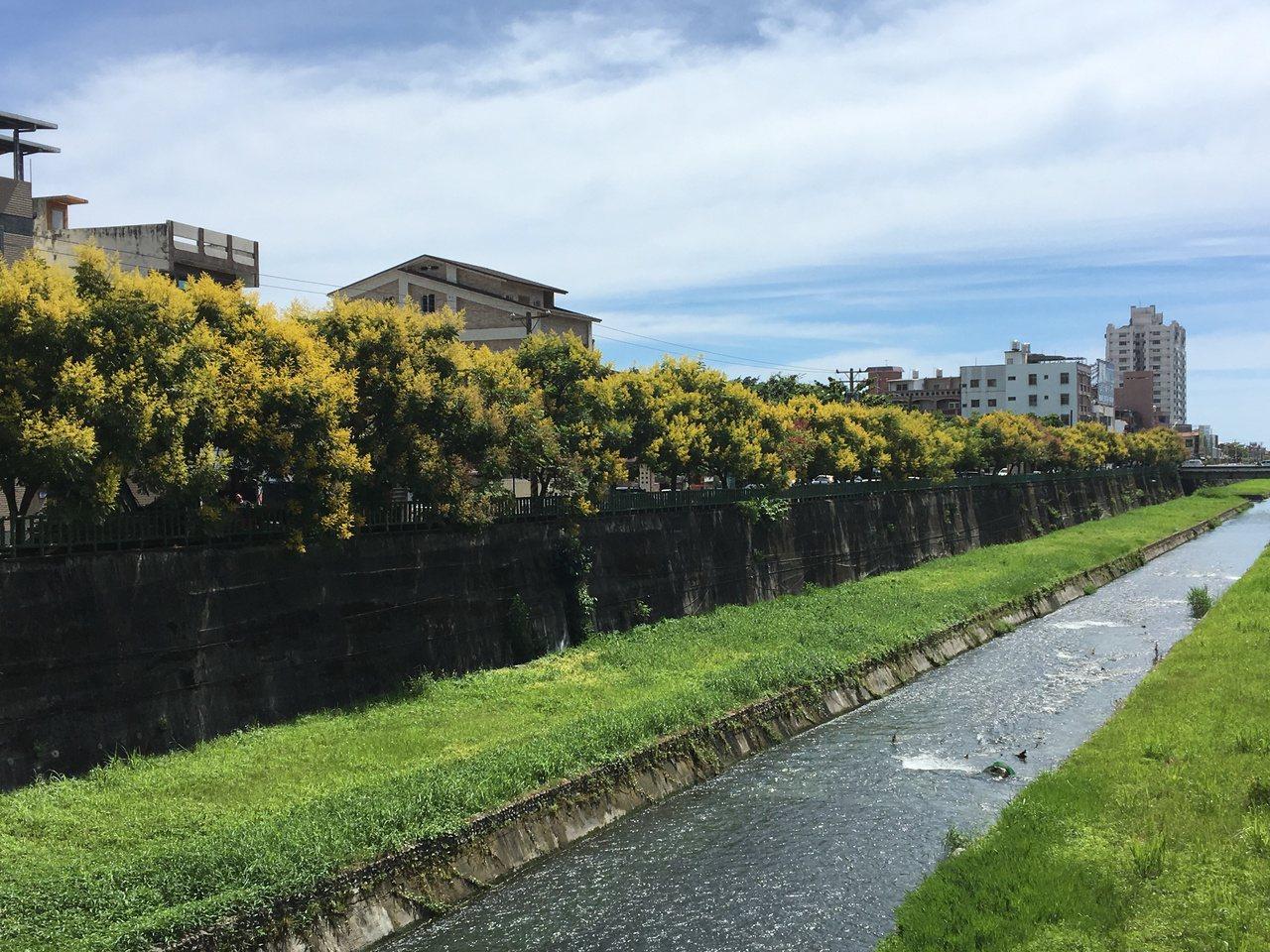 河岸兩旁的台灣欒樹綻放繽紛色彩,使整條七腳川溪增添了幾分浪漫。記者徐庭揚/攝影
