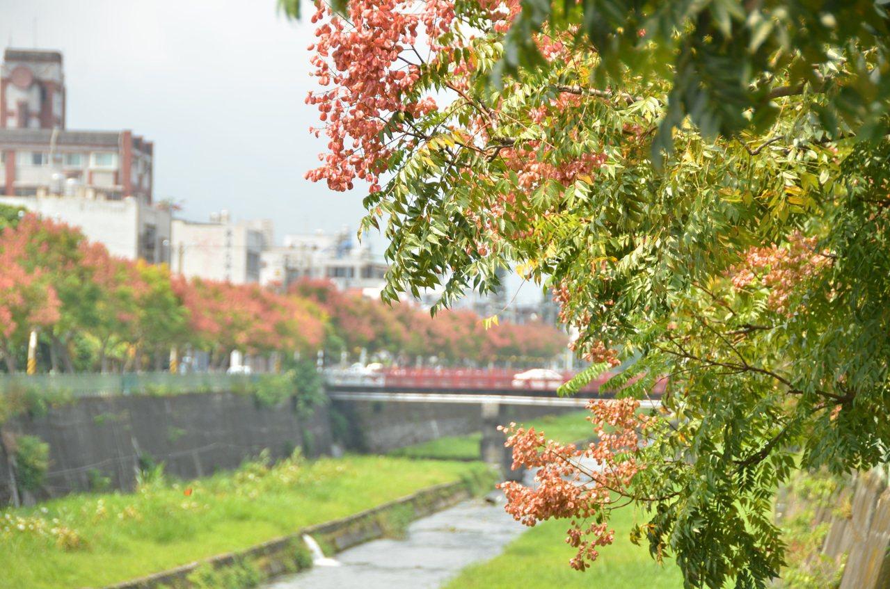 七腳川溪兩旁的欒樹的花朵已經開始結成紅色的蒴果,遠遠看去,整片樹林就如同楓林一般...