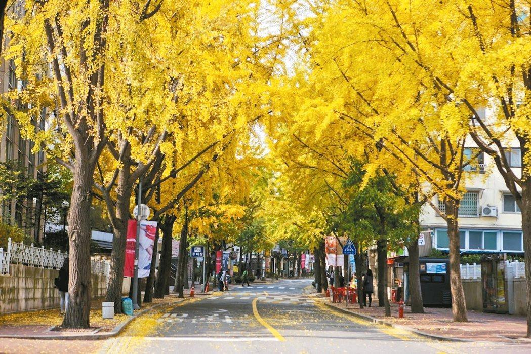 德壽宮石牆路入秋銀杏燦黃。 圖/韓國觀光公社提供