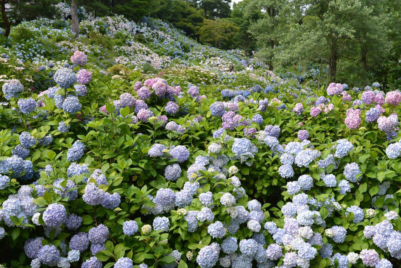 舞鶴自然文化園是關西規模最大的紫陽花觀賞地。時報出版提供