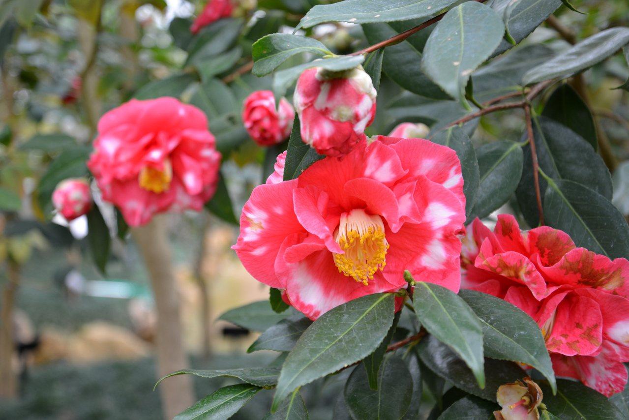 這裡的椿花也很有名,種類也很多。時報出版提供