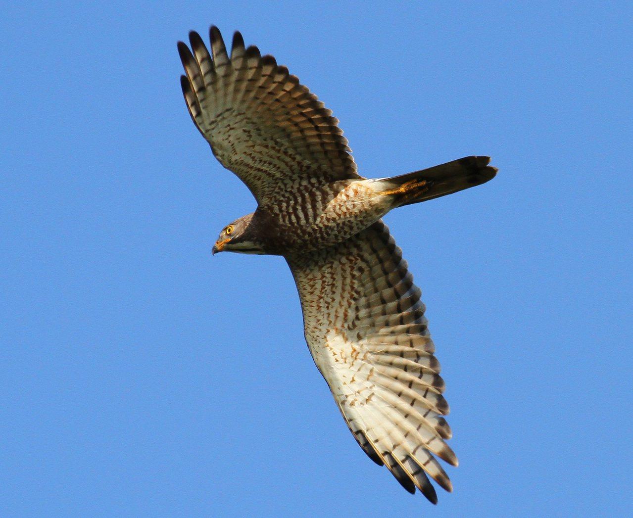 每年十月「國慶鳥」灰面鵟鷹會過境屏東恆春半島。 記者潘欣中/翻攝