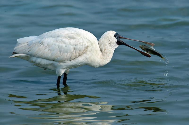 台南七股地區每個漁民的養殖面積, 只要十分之一,就足夠供給黑面琵鷺以及 其伴生水...