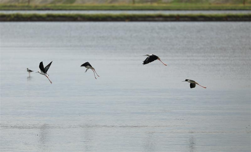 魚塭收成後降低水位,對黑面琵鷺及其伴生水鳥的使用效果明顯。 (林格立攝)