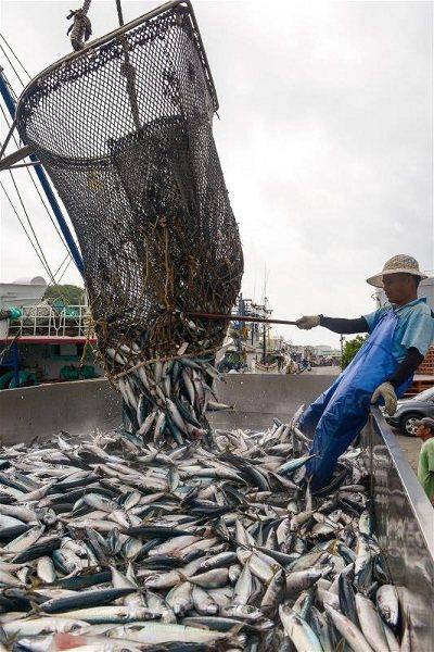 鯖魚是南方澳產業經濟命脈,漁獲量稱霸全台,謂為鯖魚的故鄉。 (莊坤儒攝)
