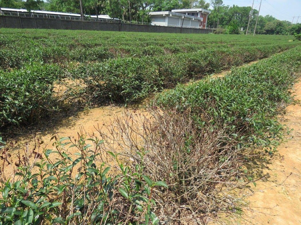 今年入夏以來,桃園龍潭地區持續高溫、久旱不雨,許多30多年歷史老茶園,出現茶樹枯...