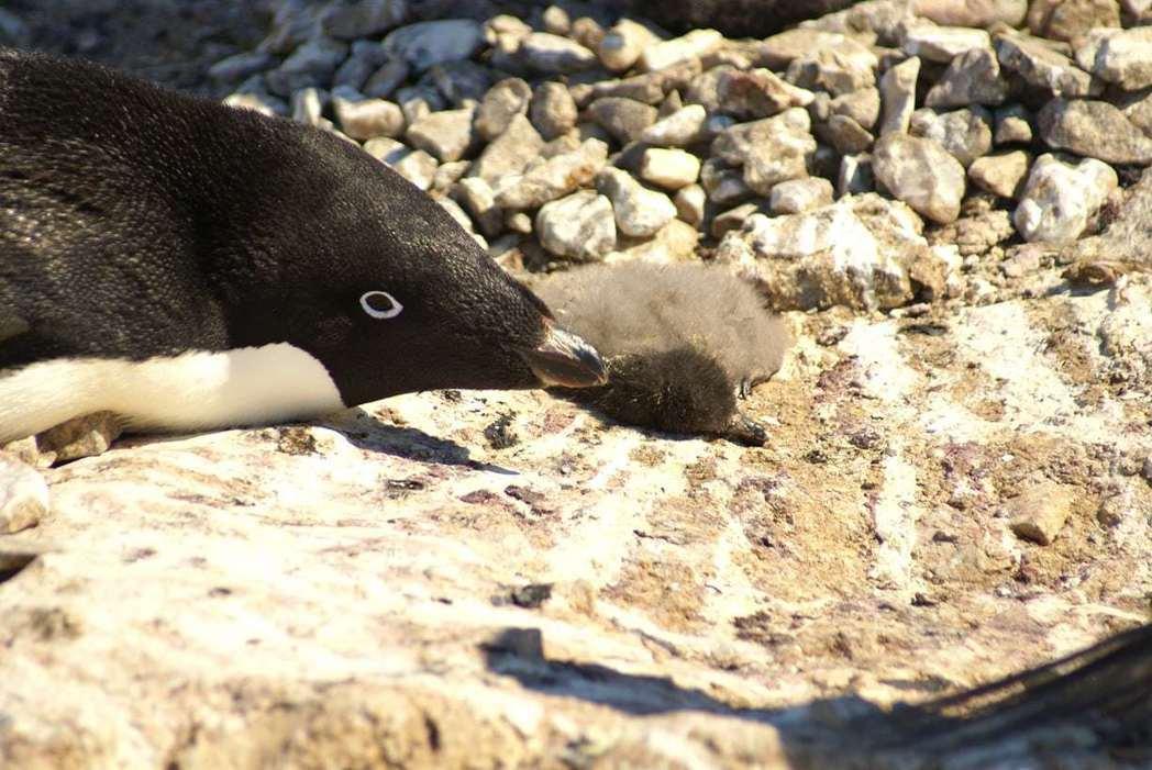衛報報導,南極洲一個約4萬隻阿德利企鵝的族群遭遇「災難性的繁殖事件」,今年該族群...