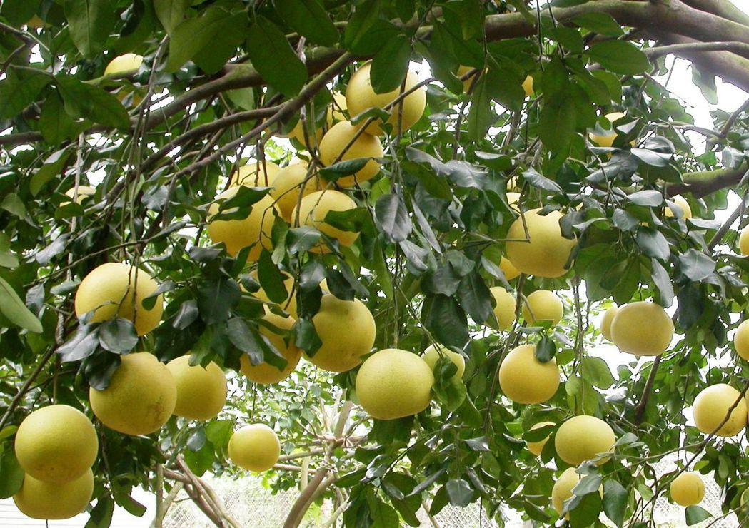大白柚上市,消費者購買回家後若要先放置聞香後才享用,可將果實置於陰涼、通風處,可...