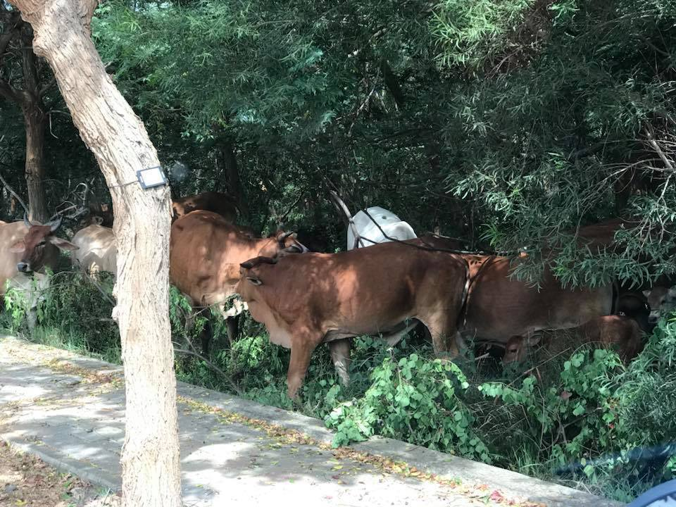 台中市南屯區向上路五段被網友發現,有牛群在慢車道旁的樹林吃草,網友呼籲用路人提高...
