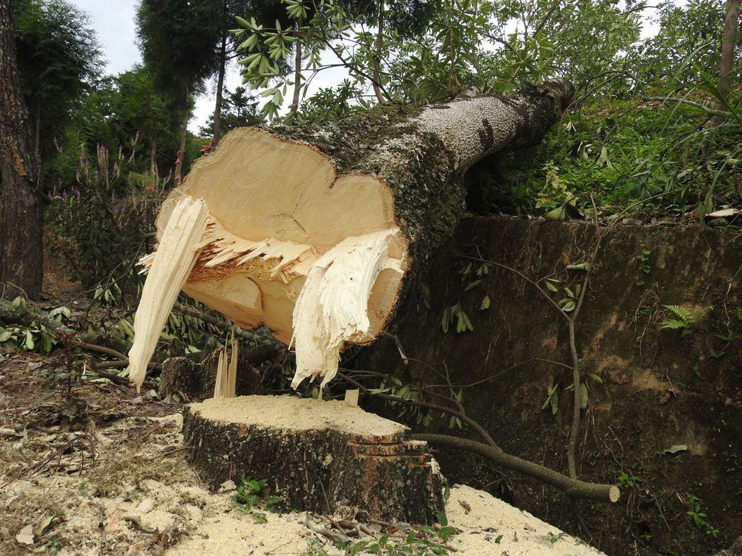 埔里虎頭山遭砍樹木平均樹徑達40公分,最大的則逾60公分。記者賴香珊/攝影
