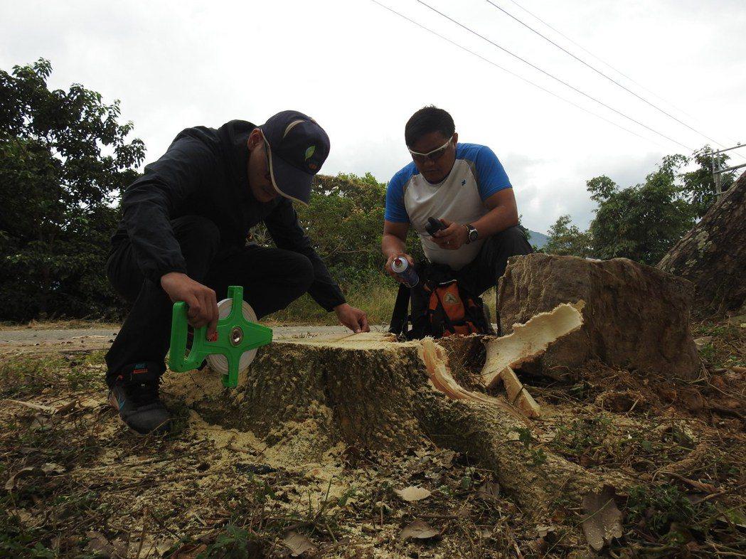 南投林管處在虎頭山樹木疑遭當地公所誤砍,巡視員今午後前往調查量測樹徑。記者賴香珊...