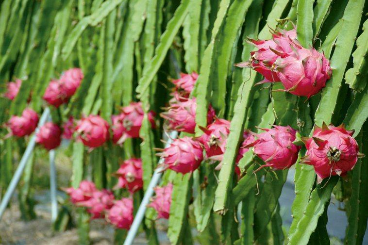 紅龍果富含果膠,是最直接的膠原蛋白來源。 圖╱本報資料照片