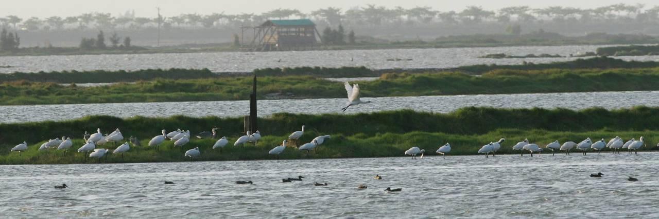 嘉義縣生態保育協會總幹事蘇銀添驚喜地發現,逾百隻黑琵覓食,比去年提早到布袋廢鹽灘...
