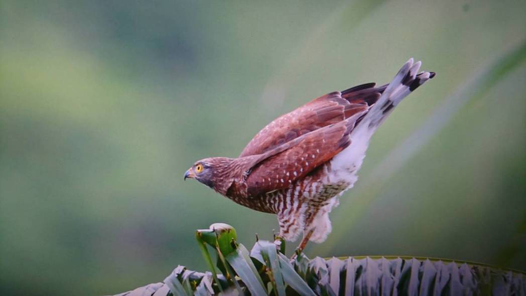 灰面鷲正集結墾丁國家公園,但也遭獵捕,鳥友氣憤與不捨。圖/鳥友潘百村提供圖/鳥友...